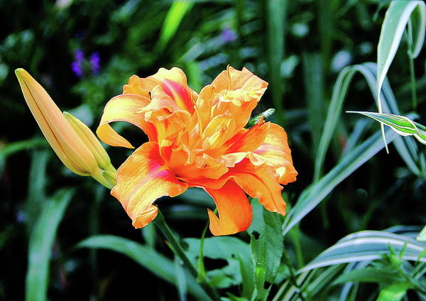 Photograph - Regal Lily by Allen Nice-Webb