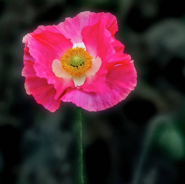 Photograph - Regal Looking Poppy. by Usha Peddamatham