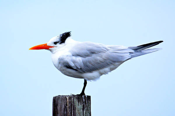 Photograph - Regal Posture by Don Mercer