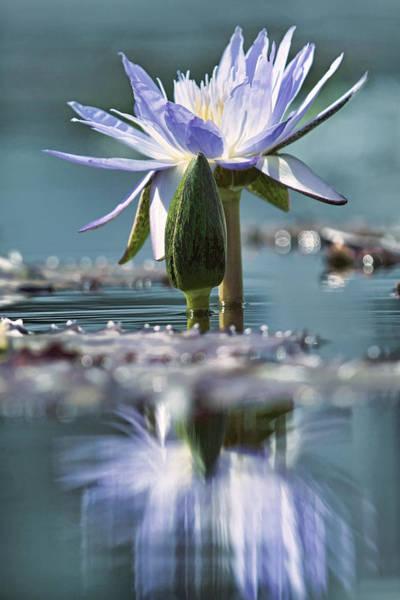 Photograph - Regal Radiance Blue Tone by Leda Robertson