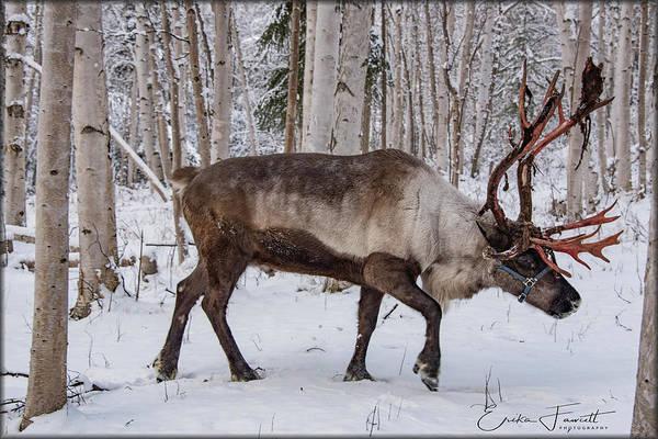 Photograph - Reindeer  by Erika Fawcett