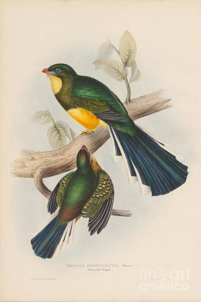 Painting - Reinwardt's Trogon by Celestial Images