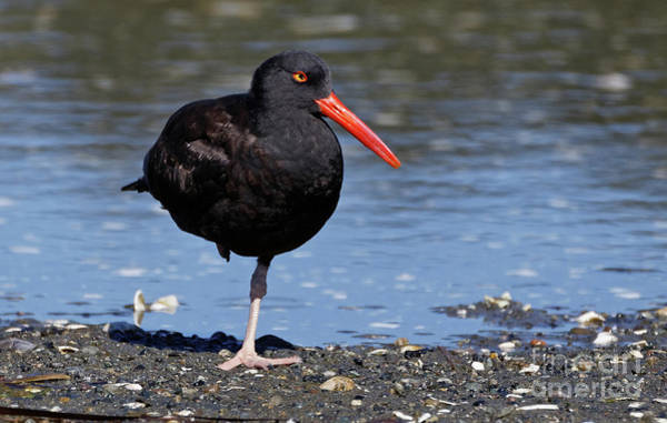 Photograph - Relaxed Black Oystercatcher by Sue Harper