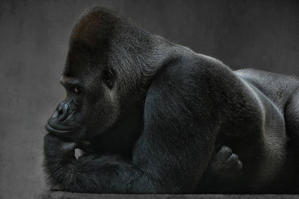 Monkey Photograph - Relaxed Silverback by Joachim G Pinkawa