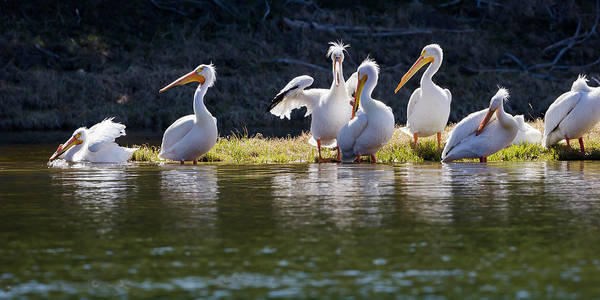 Photograph - Relaxing American White Pelicans by Mark Miller