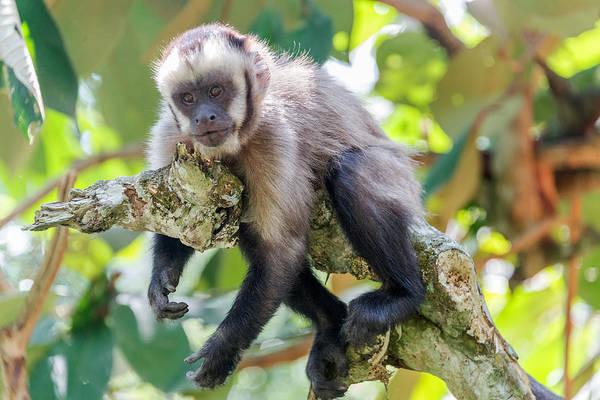 Cahuita Photograph - Relaxing Capuchin Monkey by Jess Kraft