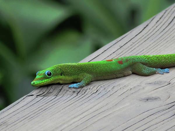 Photograph - Relaxing Gecko by Pamela Walton