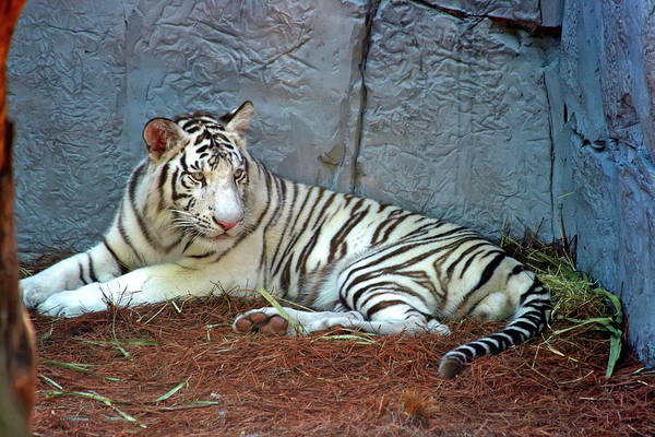 Nfs Photograph - Relaxing White Tiger by Daniel Caracappa