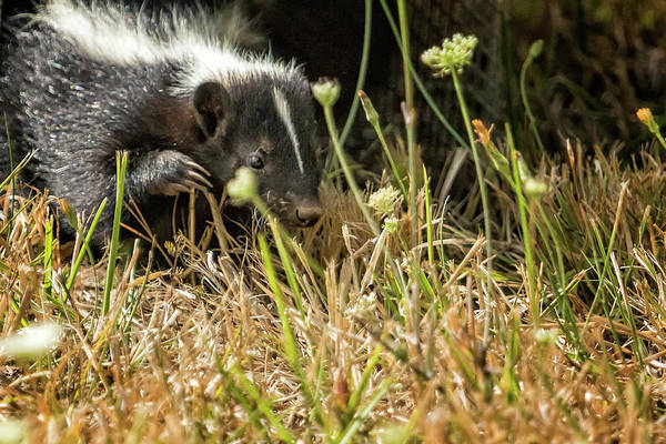 Photograph - Release Of A Young Skunk by Belinda Greb
