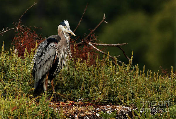Photograph - Relaxing Heron by Sue Harper