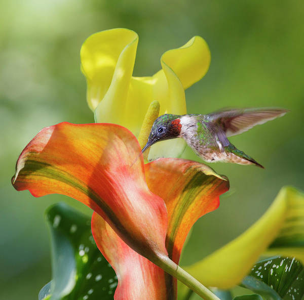 Hummingbird Wings Photograph - Remarkable Inspiration  by Betsy Knapp