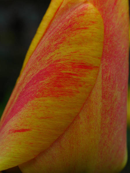 Photograph - Rembrandt Tulip  by Juergen Roth