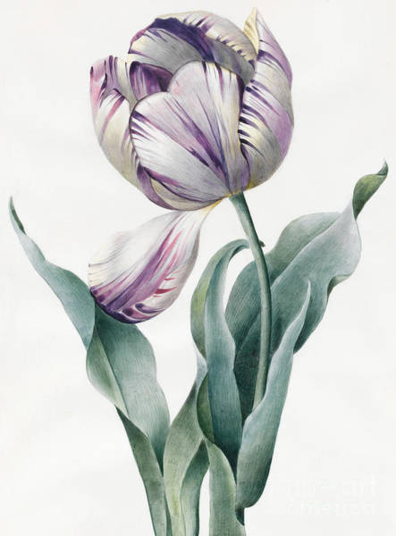 Decorative Drawing - Rembrandt Tulip by Louise D'Orleans