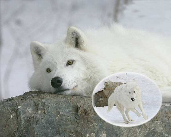 Arctic Wolves Photograph - Remember When by Gerry Sibell