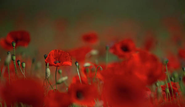 Photograph - Remembering Poppies by Peter Walkden