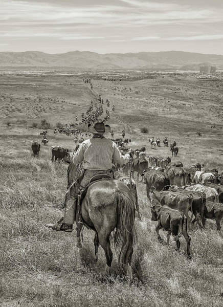 Photograph - Reno Cattle Drive 22 Bw by Rick Mosher