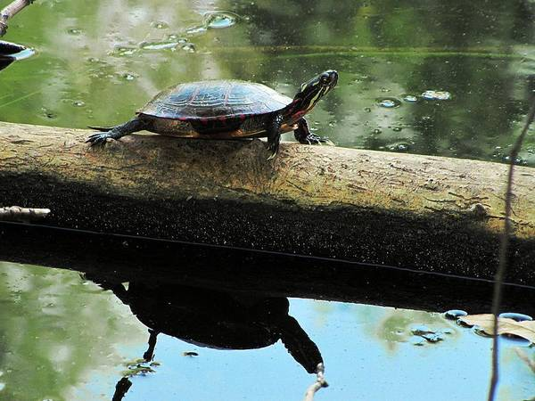 Photograph - Reptile Reflection by Scott Hovind