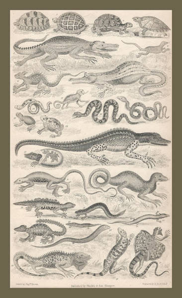 Wall Art - Drawing - Reptiles by Dreyer Wildlife Print Collections