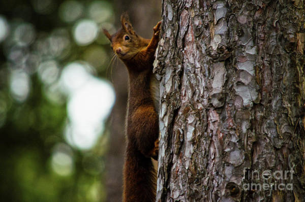 Photograph - Red Squirrel  by Spade Photo