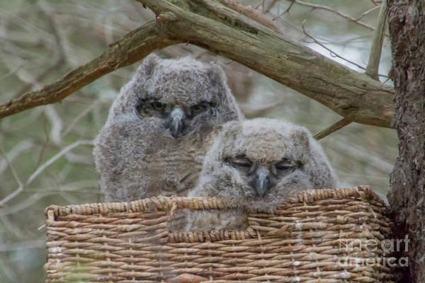 Wicker Basket Digital Art - Rescued Great Horned Owlets  by Cheryl Aguiar