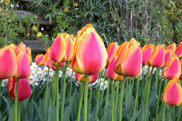 Wall Art - Photograph - Residence Tulips by Paul Fell