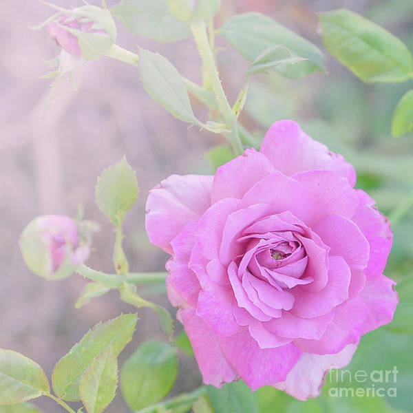 Photograph - Resilient Rose by Cindy Garber Iverson