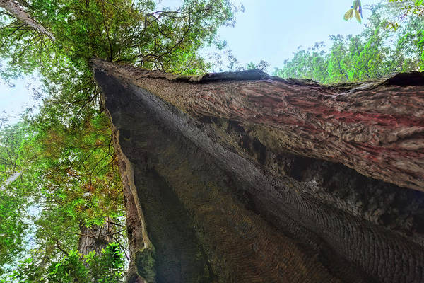 Photograph - Resolute Redwood by John M Bailey