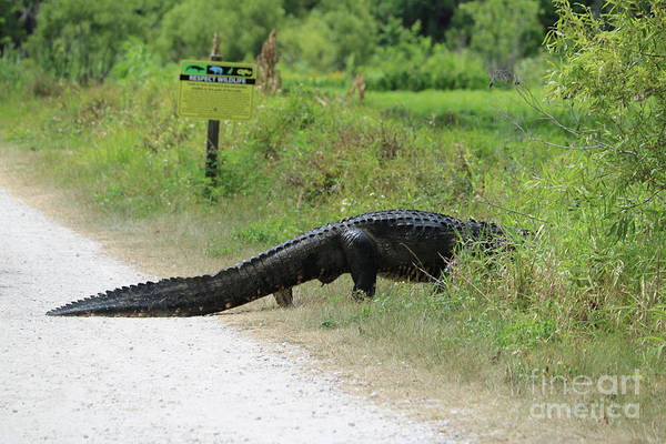 Photograph - Respect Wildlife Large Gator by Carol Groenen