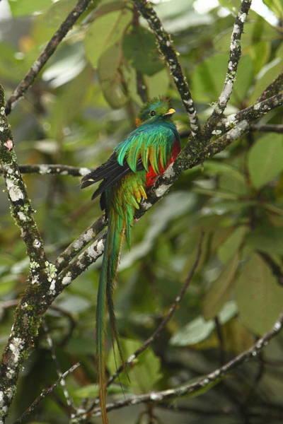 Quetzals Photograph - Resplendent Quetzal II by Bruce J Robinson