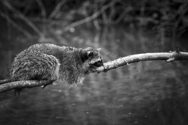 Photograph - Restful Raccoon by Windy Corduroy