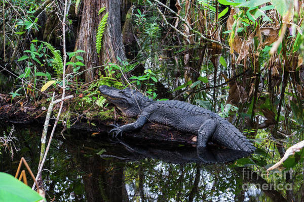 Airboat Photograph - Resting Alligator   by Timyee