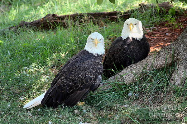 Photograph - Resting Bald Eagles by Sheila Brown