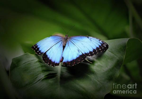 Photograph - Resting Blue Morpho Butterfly by Karen Adams