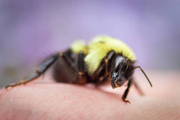 Photograph - Resting Bumblebee by Kristen Wilkinson