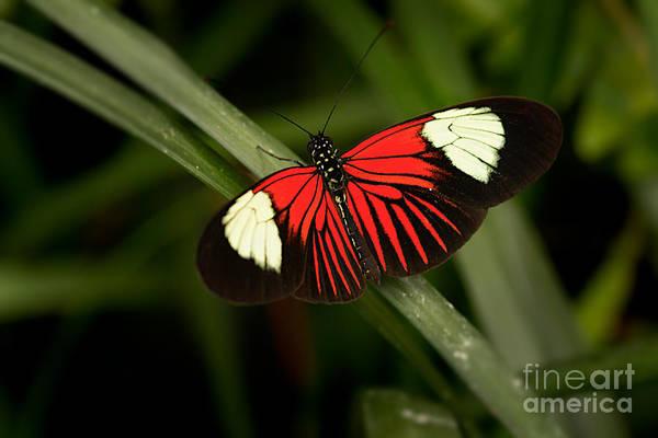 Photograph - Resting Butterfly by Ana V Ramirez
