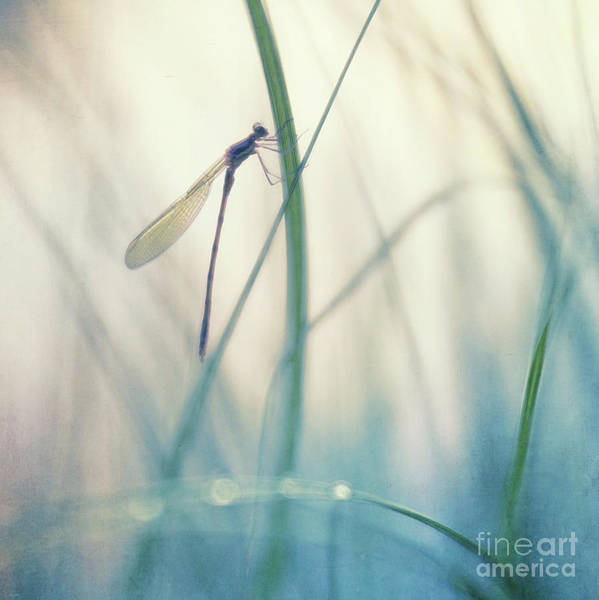 Wall Art - Photograph - Resting Damselfly by Priska Wettstein