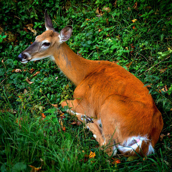 Photograph - Resting Doe by David Patterson