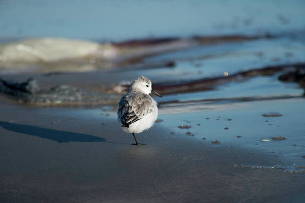 Photograph - Resting Dunlin by Frank Madia