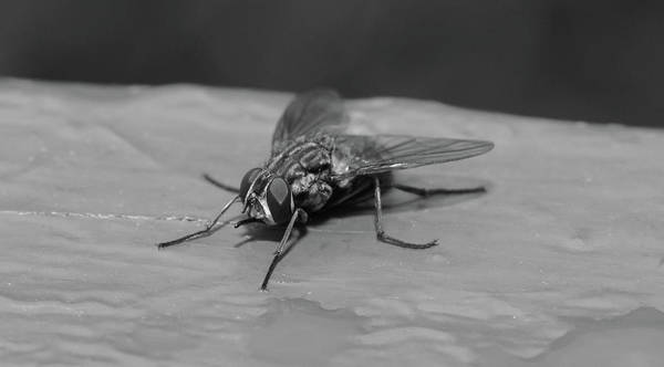 Photograph - Resting Fly On Piece Of Wood B by Jacek Wojnarowski