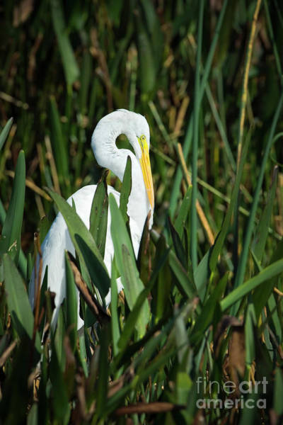 Photograph - Resting Great Egret by Patrick M Lynch