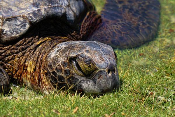 Photograph - Resting Honu by Pamela Walton