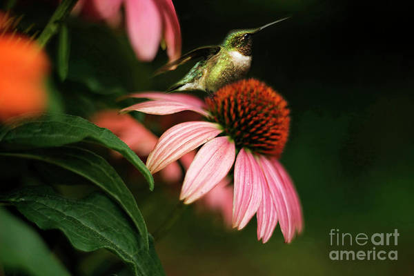 Wall Art - Photograph - Resting Hummingbird by Darren Fisher