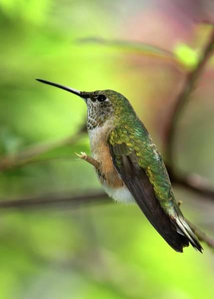 Photograph - Resting Hummingbird by Sabrina L Ryan
