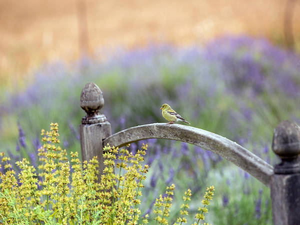Finch Photograph - Resting In The Garden by Rebecca Cozart
