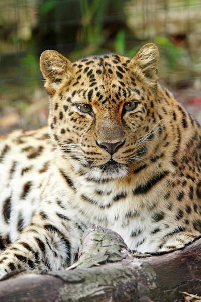 Nfs Photograph - Resting Leopard by Daniel Caracappa
