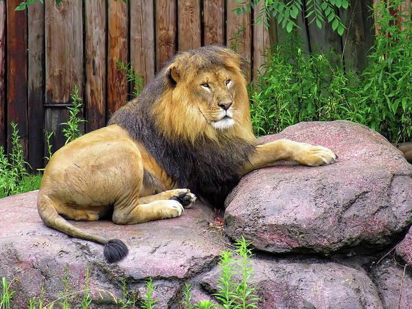 Nfs Photograph - Resting Lion After Rain by Daniel Caracappa
