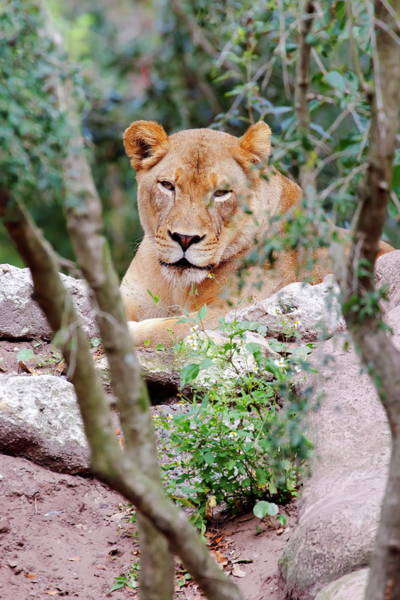 Nfs Photograph - Resting Lioness by Daniel Caracappa