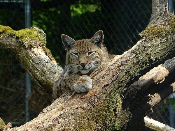 Photograph - Resting Lynx by Mhiss Little