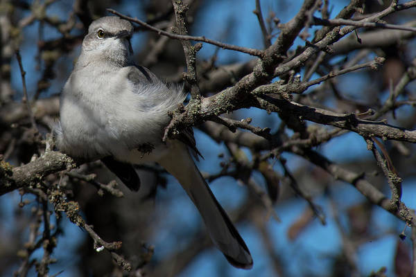 Photograph - Resting Mockingbird by Frank Madia