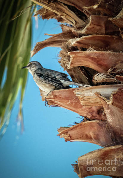 Northern Arizona Wall Art - Photograph - Resting Mockingbird by Robert Bales